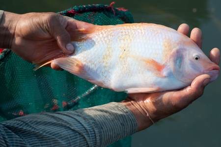 a big nile tilapia in hands photo