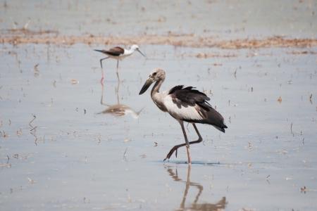 Open billed Stork bird, Anastomus oscitans in the water Stock Photo - 14187349