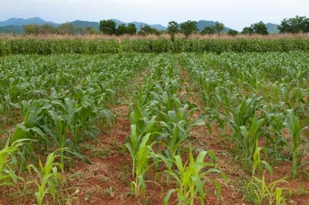 the landscape of corn farm  photo