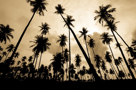 the landscape of coconut farm Stock Photo - 14387567