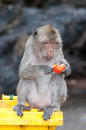 Thai monkey is  eating a fruit photo