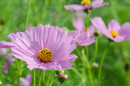 Pink Cosmos flower family fompositae in garden  photo