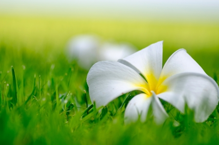 yellow Frangipani or Plumeria flower on green grass background photo