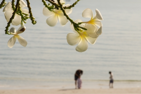 yellow Frangipani or Plumeria flower photo