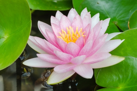 colorful of purple water lily photo
