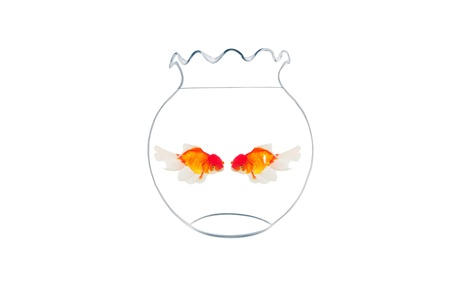 golden fishes in fishbowl isolated on white background photo