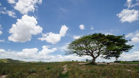 big tree under blue sky in pineapple farm,Thailand photo