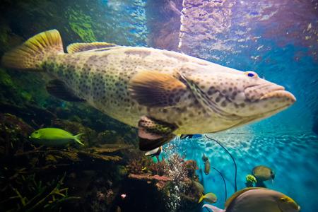 epinephelus: Curious nassau grouper in the sea