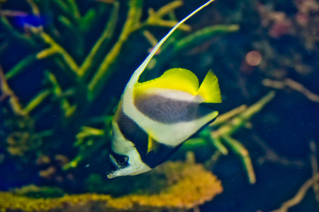zanclus cornutus: Moorish Idol (Zanclus cornutus) the type of fish known as Gill in Finding Nemo