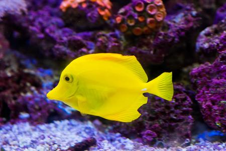 flavescens: Yellow Tang - Zebrasoma flavescens - tropical marine fish Stock Photo