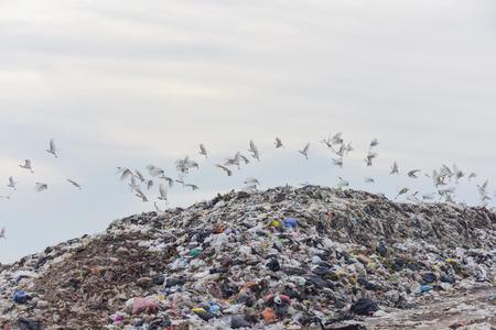 egrets: flock of egrets on big garbage heap