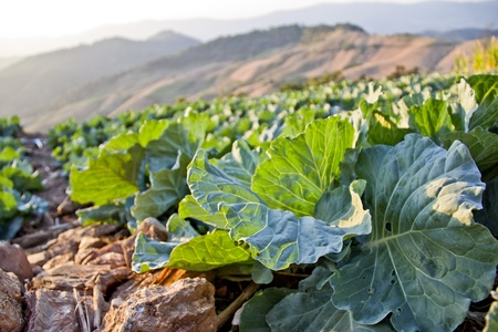 Acres of cabbage. photo