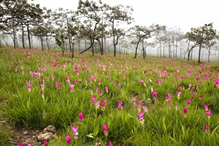 Wild siam tulips blooming in the jungle in Chaiya phoom Stock Photo
