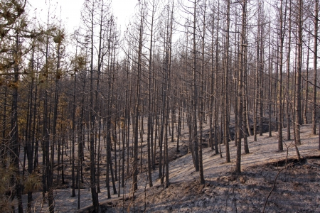 charred: Charred trees and ground after forest fire Stock Photo
