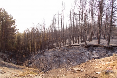 ravaged: Charred trees and ground after forest fire Stock Photo