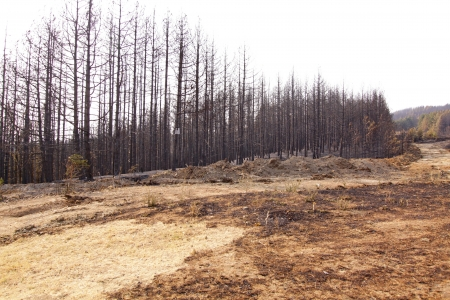 Charred trees and ground after forest fire photo