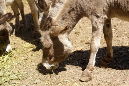 jack ass: Donkey grazing in a field