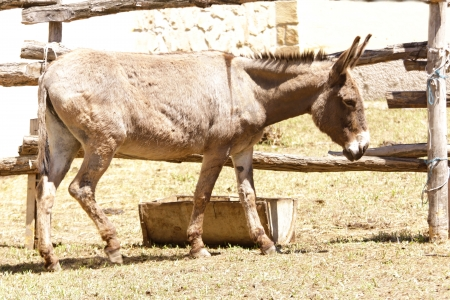jack ass: Donkey pascolo in un campo