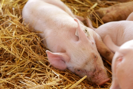 snoozing: Young piglets snoozing Stock Photo