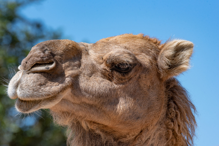 Close-up portrait of a dromedary (Camelus dromedarius) Foto de archivo