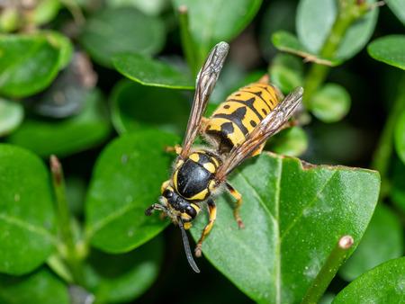 Vespula germanica (European wasp, German wasp, or German yellowjacket) Macro photo Stock Photo