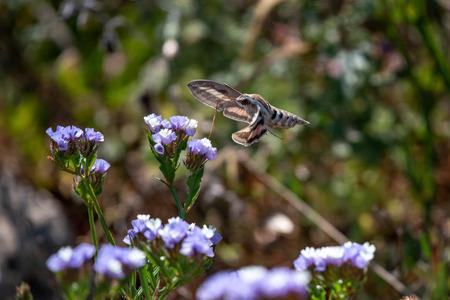 Hummingbird Hawk Moth (Macroglossum stellatarum) sucking nectar from wildflower. 版權商用圖片