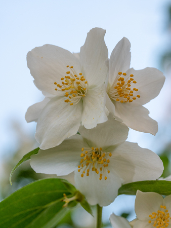 Sweet Mock-orange or English Dogwood -Philadelphus coronarius- Flowers with Four Petals.  Shallow depth of field Stock Photo