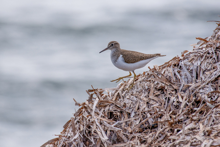 Common Sandpiper on the shore (Actitis hypoleucos)