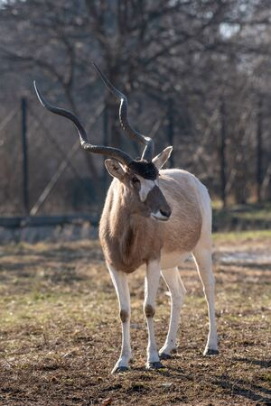 Portrait of Addax (Addax nasomaculatus) also known as the white antelope and the screwhorn antelope, is an antelope of the genus Addax, that lives in the Sahara desert Stockfoto