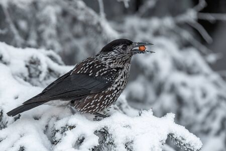 Spotted Nutcracker (Nucifraga caryocatactes) with a nut in her beak
