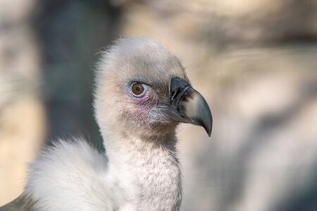 Close up of Griffon Vulture or Gyps fulvus.