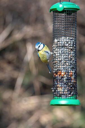 Blue tit (Cyanistes caeruleus or Parus caeruleus) taking nuts from bird feeder