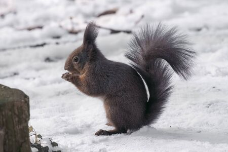 Squirrel eating nut. Smal funny squirrel sitting on ground and holding and eating nut. Standard-Bild