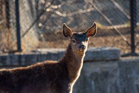 Close-up portrait of beautiful young  red deer (Cervus elaphus) 免版税图像