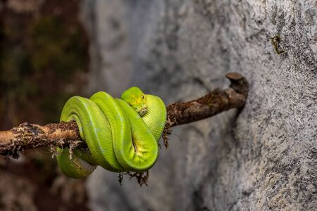 Close-up picture of Green tree python (Morelia viridis)