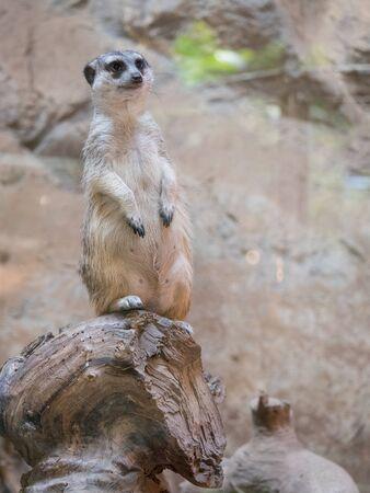 The meerkat or suricate Suricata suricatta is a small carnivoran belonging to the mongoose family.