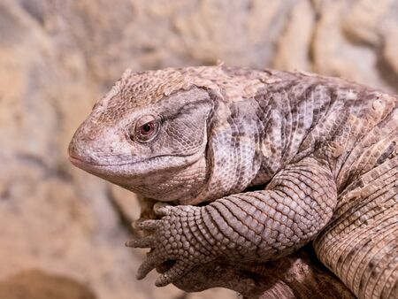 The Savannah Monitor (Varanus exanthematicus) is indigenous to the African savannah. It is known as Bosc's monitor in Europe, named after French scientist Louis Bosc who first described the species. Stok Fotoğraf