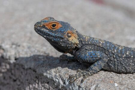 Sling-tailed Agama (Stellagama stellio subspecies cypriaca) endemic subsp to the island of Cyprus Stock Photo