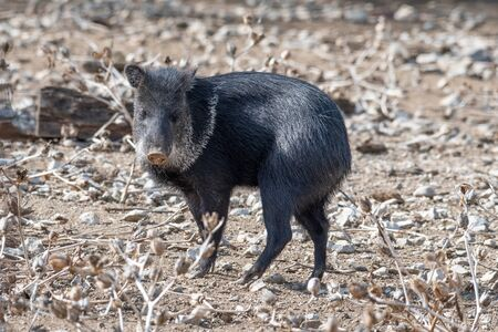 The collared peccary (Pecari tajacu) is a species of mammal in the family Tayassuidae found in North, Central, and South America. Reklamní fotografie