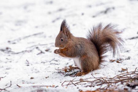Eastern gray squirrel (Sciurus carolinensis) eating nuts
