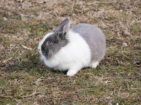 Dutch Rabbit domestic, sitting, feeding on grass