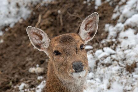 Close up photo of female Vietnamese sika deer (Cervus nippon pseudaxis) Reklamní fotografie