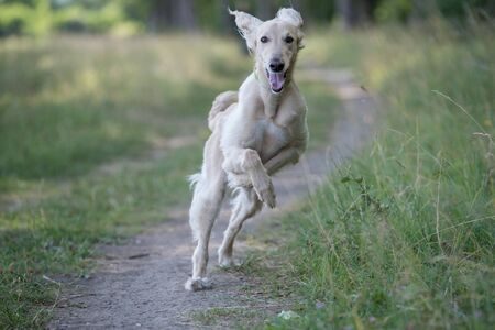 Taigan is a member of the family of Eastern Sighthounds. The Taigan is a very rare dog breed, reported about few hundred  worldwide. Selective focus on the dog Stock Photo