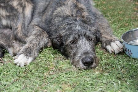 A beautiful puppy Irish Wolfhound dog head portrait with cute expression  while lying on the grass
