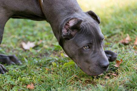 Cane Corso Female Puppy Sniffing Outdoor Archivio Fotografico
