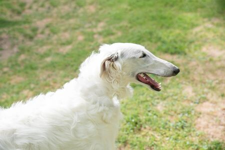 Borzoi Russian white. The Borzoi Russian dog  sitting on the green grass. Selective focus on the dog Stock Photo