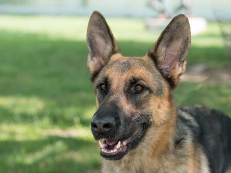 German Shepherd sitting on the green grass. Selective focus on the dog Imagens