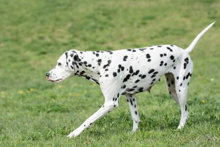 A young beautiful Dalmatian dog running on the grass Stock Photo