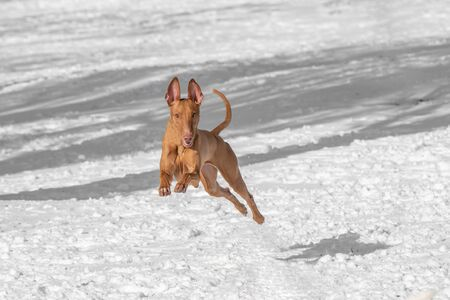 Typical Pharaoh hound dog in the winter garden Stock Photo