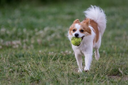 Mini Spitz running with a ball